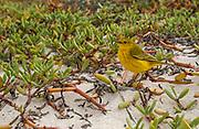 Yellow Warbler<br /> Dendroica petechia<br /> Floreana Island, GALAPAGOS. ECUADOR<br /> South America