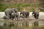 A herd of African elephants enjoys a water hole at the Tau Game Lodge on the Madikwe Game Reserve, South Africa. Tau Game Lodge is a luxury safari lodge, a destination for people from around the world.