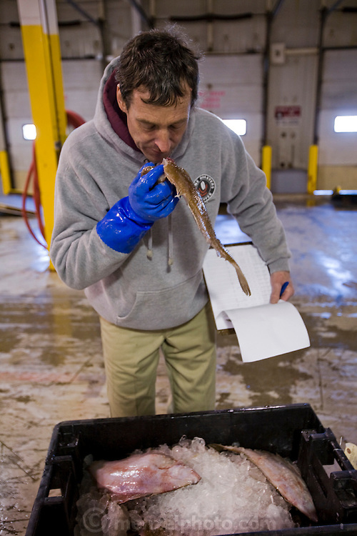 Lobsterman and fish buyer Sam Tucker checks to see whether fish on auction at the Gread Diamond Island dock is fresh. (Samuel Tucker is featured in the book What I Eat: Around the World in 80 Diets.) MODEL RELEASED.