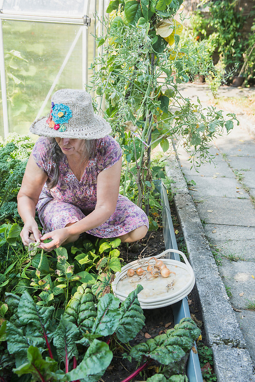 Senior woman harvesting onions and beans in the garden, Altoetting, Bavaria, Germany
