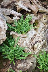 Asplenium trichomanes (Maidenhair spleenwort) planted in the stumpery at John Massey's garden
