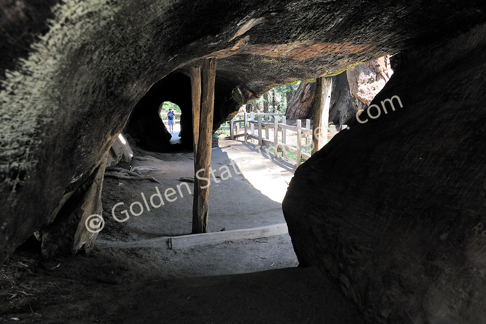 Park visitor peers into the hollow trunk of an ancient fallen Sequoia. <br /> <br /> Not Model Released. <br /> <br /> Species: Sequoiadendron giganteum