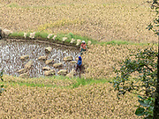 Women working in a rice field, Yuanyang, Yunnan, southwest China