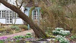 Looking towards the house with Cyclamen coum and snowdrops