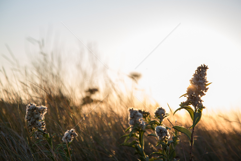grasses at sunset in The Hamptons