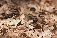 Female Western fence lizard, Sceloporus occidentalis. Mendocino County, California