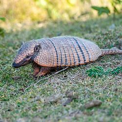 """""""Tatu-peba (Euphractus sexcinctus) fotografado em Corumbá, Mato Grosso do Sul. Bioma Pantanal. Registro feito em 2017.<br /> <br /> <br /> <br /> ENGLISH: Six-banded armadillo photographed in Corumbá, Mato Grosso do Sul. Pantanal Biome. Picture made in 2017."""""""