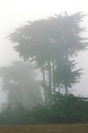 Monterey Cypress trees (Cupressus macrocarpa) in morning fog on the Cambria coast, San Luis Obispo County, California