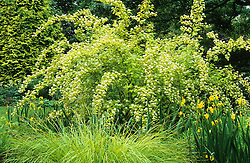Physocarpus opulifolius 'Luteus' with Carex elata 'Aurea', Iris pseudacorus var. bastardii and conifer at Beth Chatto's garden