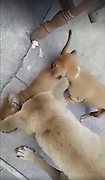 NEWS COPY - WITH VIDEO AND PICTURES<br /> <br /> This is the heartbreaking moment a puppy desperately tries to bring his dead brother back to life.<br /> <br /> The light brown pooch was with other tiny pups in the litter when one of his siblings didn't wake up.<br /> <br /> He tries desperately to rouse his doggy brother by biting his fur and shaking him - while the mother licks his face and paws at him.<br /> <br /> But despite the efforts to save him, the street dog passed away outside the cafe in north east Thailand.<br /> <br /> Onlooker Somchai Wongtong said: ''It was really sad to see the young puppy trying to help his friend.<br /> <br /> ''He was trying to bring him back to life but unfortunately there was nothing that he could do.<br /> <br /> ''There are always one or two pups in a litter that are not strong enough to survive. We think that the others are OK now.''<br /> ©Exclusivepix Media