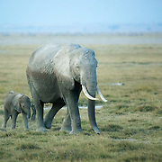 """Mother elephant leading her baby in Amboseli National Park, Kenya, Africa.<br /> <br /> For all details about sizes, paper and pricing starting at $85, click """"Add to Cart"""" below."""