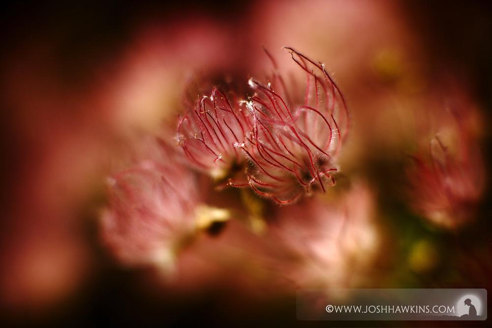 Flowers on Mt. Charleston in Nevada in the Mojave Desert...Apache Plume, Fallugi paradoxa, Rosaceae