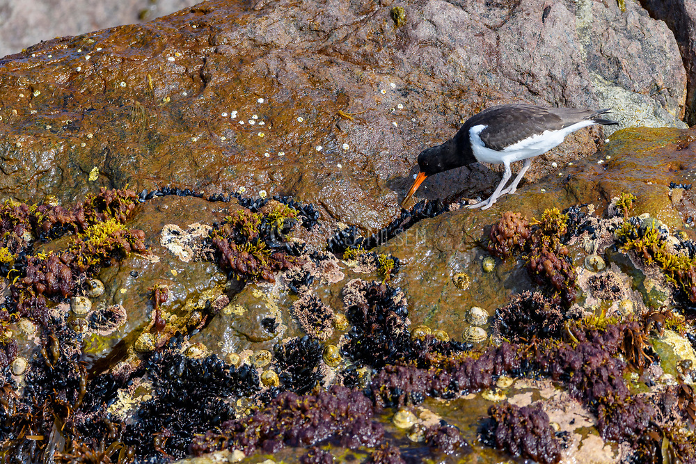 Eurasian Oystercatchers (Haematopus ostralegus) feeding on small blue mussels. Photo from Hidra, south-western Norway.