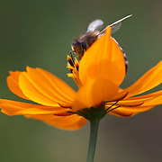 Cosmos Flower with bee drinking nectar against green background