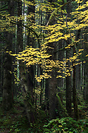 Vine Maple (Acer circinatum) autumn foliage colors in the temperate rainforest at Rolley Lake Provincial Park in Mission, British Columbia, Canada.
