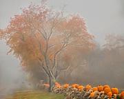 Pumpkins on a wall in Matunuck Beach, Rhode Island on a foggy day