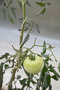 home grown tomato plant with one green tomato