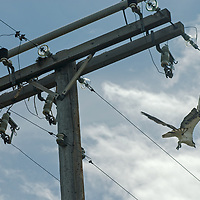 An osprey (Pandion haliaetus), takes flight while its mate remains atop a power pole near Ennis Lake, Montana.