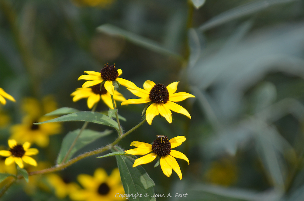 A small cluster of three black eyed susans with a small bug on the lower one.  Hillsborough, NJ