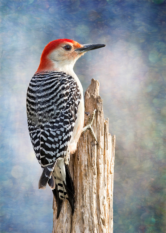 Red-Bellied Woodpecker - Most woodpeckers have zygodactyl feet, which means they have toes facing the front and toes facing the back to help them grip trees and poles vertically. They use those toes with their stiff tail feathers to brace on trees as they climb.