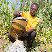 CAPTION: Fidelis watering the family's onion patch. The family uses 'planting basins' for many of their vegetables (including these onions), which are small square-shaped depressions that keep water inside after irrigation. LOCATION: Nsanja-Seze, Vila Ulongwe area, Angonia District, Tete Province, Mozambique. INDIVIDUAL(S) PHOTOGRAPHED: Fidelis Dickson.