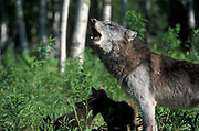 Timber or Grey Wolf, Canis Lupus, Minnesota USA, controlled situation, female and young cubs, howling