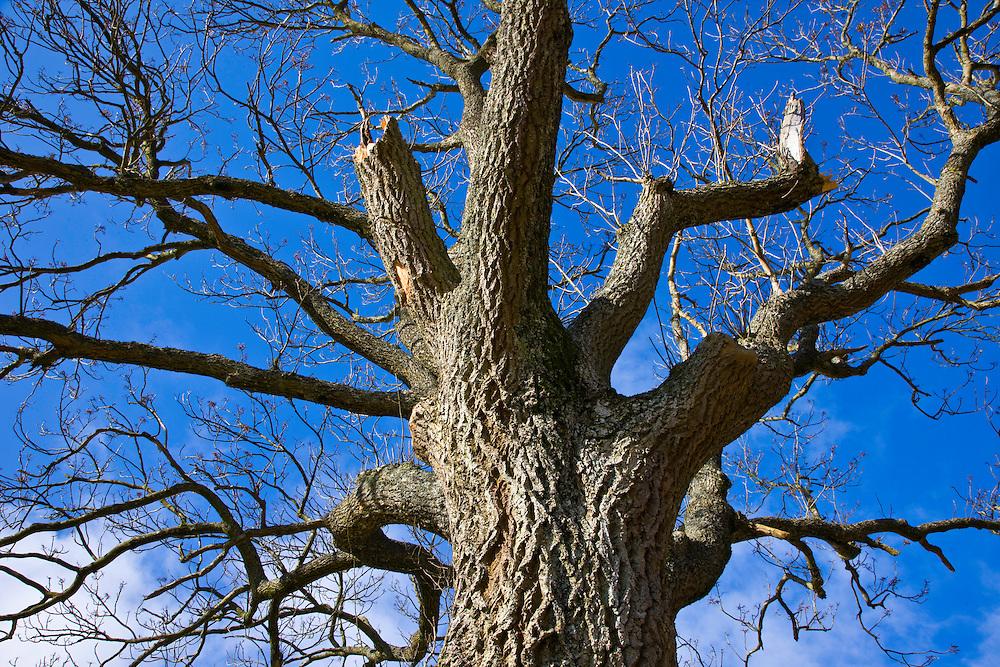 Oak Tree (Quercus robur), The Elan Valley, Rhayader, Mid-Wales, UK     ROBLE, VALLE DE ELAN, RHAYADER, GALES MEDIO, REINO UNIDO