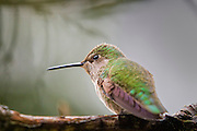 An Anna's hummingbird (Calypte anna) shows off the iridescent feathers on its head and back while resting on the branch of a rhododenron in Snohomish County, Washington. All hummingbirds have iridescent plumage, which reflects certain wavelengths of light. Several features of the feathers result in the iridescence. Barbules, which are flat in most birds, are angled to form a V shape in hummingbirds. Also, the surface of the barbules is covered with microscopic discs containing tiny air bubbles that amplify certain colors of light and cancel out others.