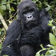 A silver-black male mountain gorilla ((Gorilla beringei beringei)) in Volcanoes National Park. Rwanda, Africa