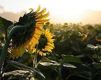 Sunflowers in field