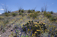 Ocotillo, Big Bend Bluebonnets and Prickly Pear, Big Bend Ranch State Park, Texas