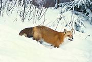 Red Fox ( Vulpes fulva ) Minnesota ,USA  fox walking through snow