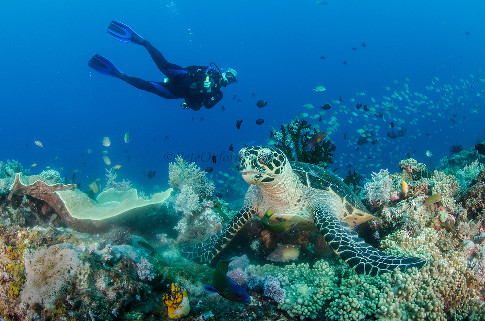 Hawksbill Turtle (Eretmochelys imbricata) & diver<br /> Raja Ampat<br /> West Papua<br /> Indonesia<br /> Feeding on soft corals<br /> Critically Endangered