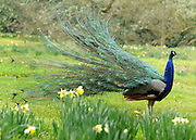 © Licensed to London News Pictures. 22/03/2012. Kew, UK. A peacock suns itself amongst the daffodils. People enjoy the spring sunshine in The Royal Botanic Gardens at Kew today, 22 March 2012. Temperatures are set to reach 18 degrees celsius in some parts of the UK today. Photo credit : Stephen SImpson/LNP