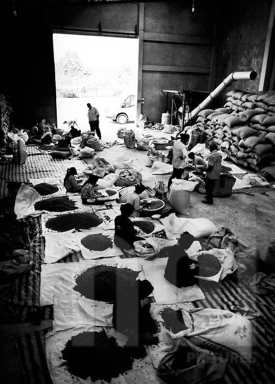 In the wharehouse of a coffee collector, women hand sorting the beans of the new harvest. Paksong, Laos, Asia