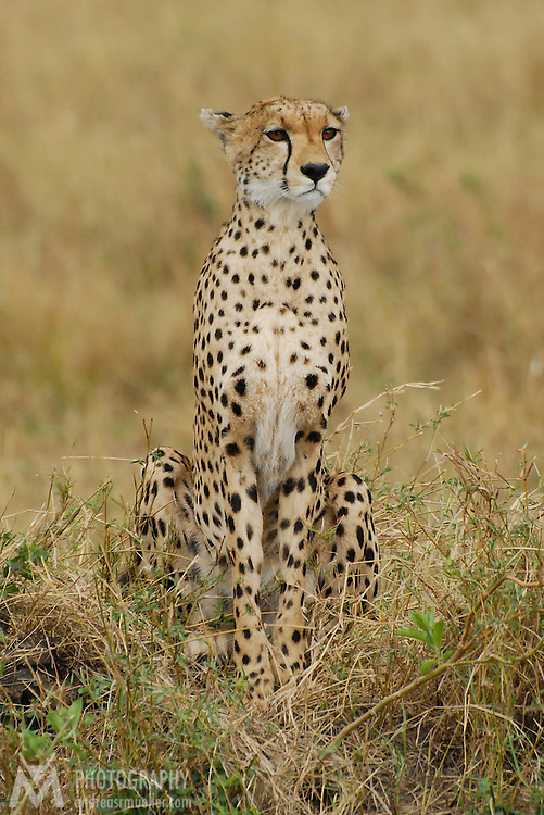 Female cheetah looking out for food.