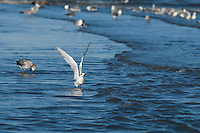 Sandwich tern, Sterna sandvicensis, at the mouth of the Tarcoles River, Costa Rica