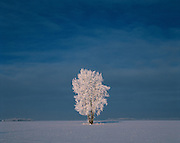 hoarfrost and cottonwood tree (Populus deltoides)<br /> Dugald<br /> Manitoba<br /> Canada