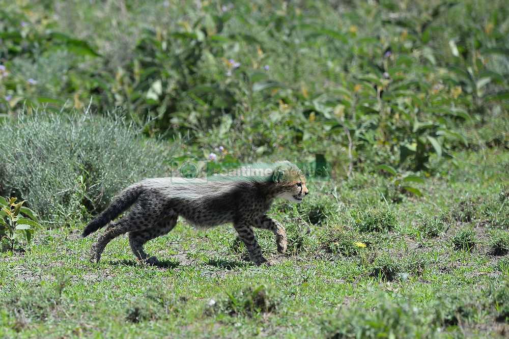 A baby Cheetah is seen in Ndutu area of Southern Serengeti National Park in Arusha Region, Tanzania, on August 25, 2019. Photo by Emy/ABACAPRESS.COM
