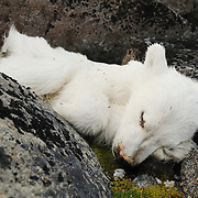 One of two dead polar bear cubs lying among the rocks of Low island in Svalbard, Norway.