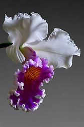 Cattleya Blc. Varut Rittenum orchid#10a