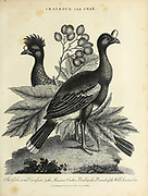 Crataegus and Crax 1. The Globe Cered Curasson, 2. The Mexican Cushew Bird with a branch of the Wild Service-Tree Copperplate engraving From the Encyclopaedia Londinensis or, Universal dictionary of arts, sciences, and literature; Volume V;  Edited by Wilkes, John. Published in London in 1810