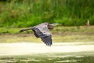 Great Blue Heron in flight at Nine Springs, Monona Monona Wetlands<br /> Conservancy, Dane County, Wisconsin. Photo taken Aug. 25, 2020.
