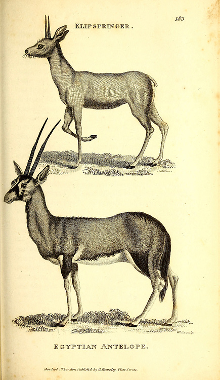 Antelopes from General zoology, or, Systematic natural history Vol II Part 2 Mammalia, by Shaw, George, 1751-1813; Stephens, James Francis, 1792-1853; Heath, Charles, 1785-1848, engraver; Griffith, Mrs., engraver; Chappelow. Copperplate Printed in London in 1801 by G. Kearsley