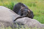 A young elephant calf (Loxodonta africana) climbing on back of older sibling to play while mother feeds ,Amboseli, Kenya, Africa
