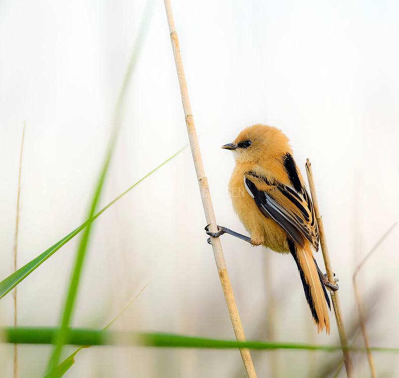 Young female bearded tits (Panurus biarmicus) from Vejlerne, northern Denmark in August 2021.