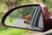 A dog seen in a car mirror enjoying a drive down the road n Maui.