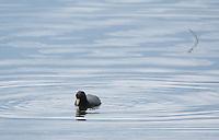 Andean Coot, Fulica ardesiaca, swimming on San Pablo Lake, Ecuador