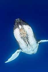 humpback whale, Megaptera novaeangliae, with parasitic acorn barnacles attached under chin, Cornula diaderma, Hawaii, USA, Pacific Ocean