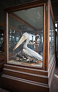 Stuffed pelican on display near Tahrir Sqaure in an colonital buidling that is home of the Egyptian Entomological Society is one of Cairo's obscure tourist sites. The natural history collection of the Egytian Entomolgolical Society is free to the public included insects and birds.